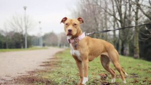 Compare the Best American Pit Bull Breeds